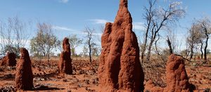 Could trees and termites point to gold?