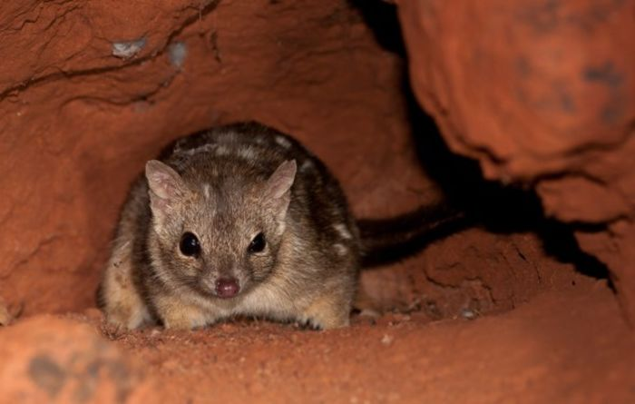 Roy Hill helps to protect Pilbara mammals